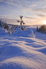 Dava Pine Tree buried in snow